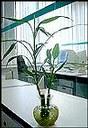 Bambú de la suerte, planta decorativa y de pocos cuidados