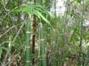 La caña de bambu en el mundo